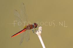 Macrodiplax cora2 - male