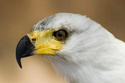 Haliaeetus vocifer - Afrikaanse Zeearend