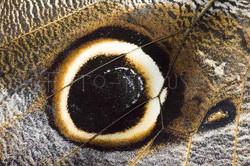 Caligo memnon - Uilvlinder -detail