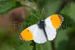 Anthocharis cardamines - Oranjetipje3 - male