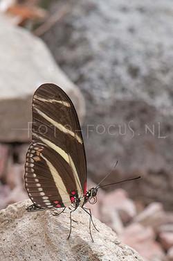 Heliconius charitonius - Zebravlinder2