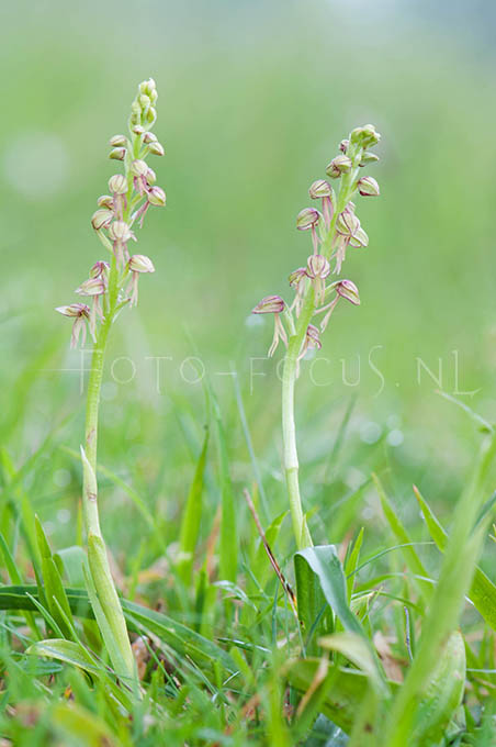 Orchis anthropomorpha - Poppenorchis1
