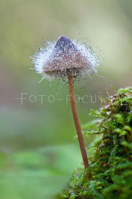 Spinellus fusiger - Mycenaparasiet1