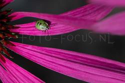 Palomena prasina - Groene schildwants (nimf)