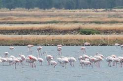 Phoenicopterus roseus - Flamingo
