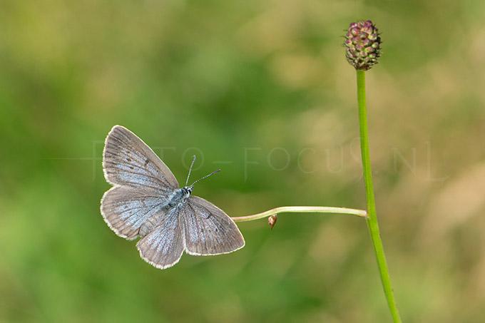 Phengaris teleius - Pimpernelblauwtje 1 -female