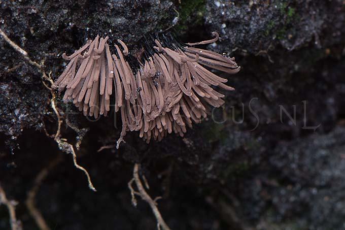 Stemonitis smithii - Kaneelkleurig netpluimpje