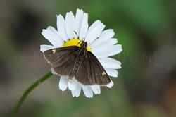 Heteropterus morpheus - Spiegeldikkopje-male