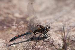 Leucorrhinia rubicunda - Noordse witsnuitlibel
