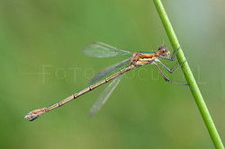 Lestes dryas - Tangpantserjuff.1 - female