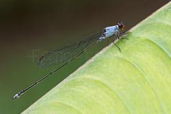 Pseudagrion Pruinosum - male