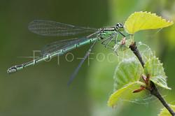 Coenagrion hastulatum - Speerwaterjuff.1- female