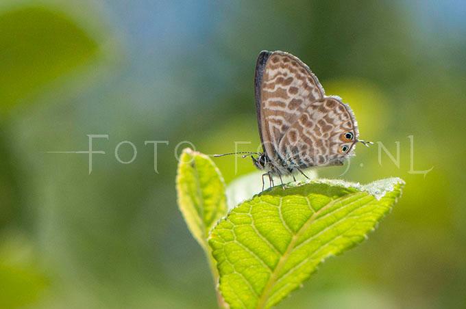 Leptotes pirithous - Klein tijgerblauwtje