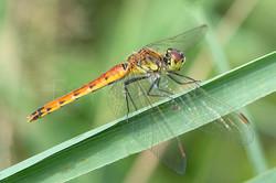 Sympetrum depressiusculum - Kempense heidelibel1 -female