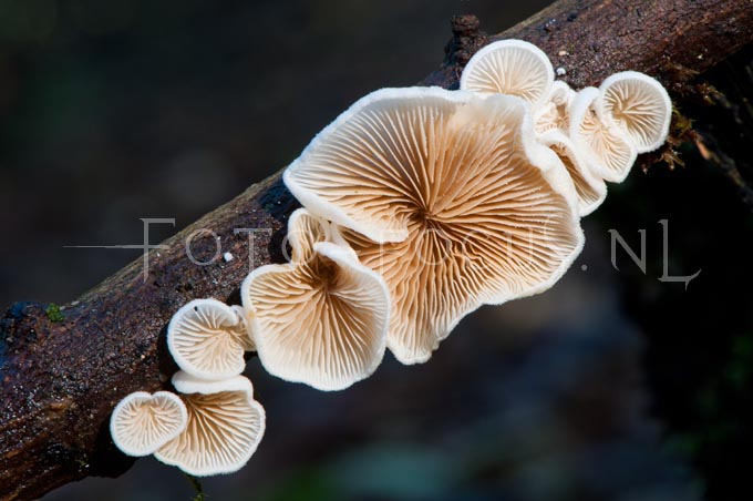 Crepidotus variabilis - Wit oorzw