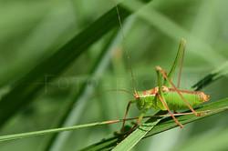 Lepophyes puntatissima - Struiksprinkhaan -male
