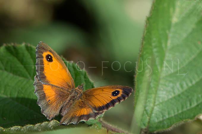 Pyronia tithonus - Oranje zandoogje1 -female