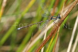 Lestes sponsa - Gew. pantserjuff.2- male