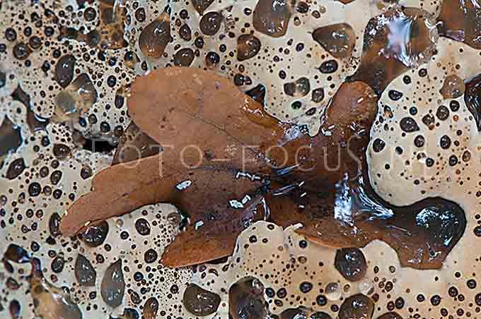 Inonotus dryadeus - Eikeweerschijnzw2