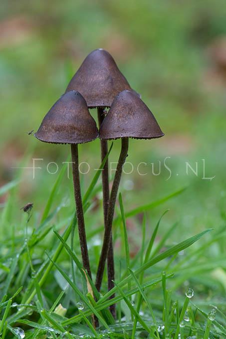 Panaeolus acuminatus - Spitse vlekplaat