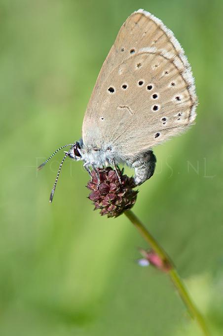 Phengaris teleius - Pimpernelblauwtje 2 -egg laying female