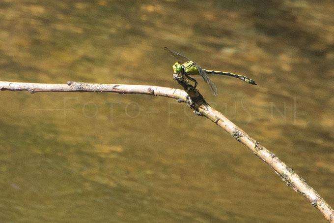Ophiogomphus cecilia - Gaffellibel -male