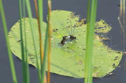 Leucorrhinia caudalis - Sierlijke witsnuit -copula
