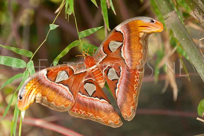 Attacus atlas - Atlas moth1