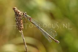 Chalcolestes viridis - Houtpantserjuff.1-female