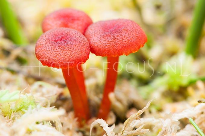 Hygrocybe coccineocrenata - Veenmosvuurzw2