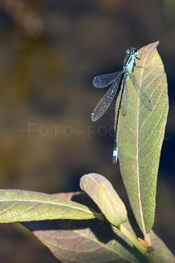 Ischnura elegans - Lantaarntje2 -male