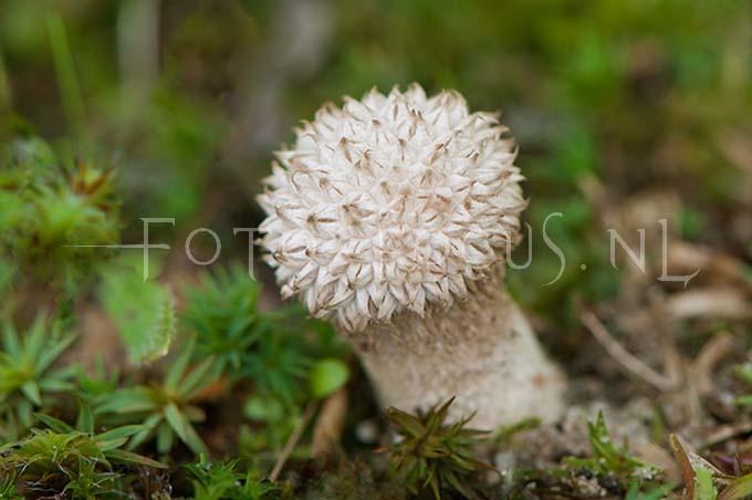 Lycoperdon echinatum - Stekelige stuifzw