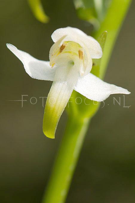 Platanthera chlorantha - Bergnachtorchis3