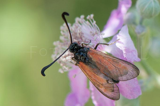Zygaena purpuralis - Streep-sint-jansvlinder2
