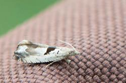 Epinotia ramella - Gemarmerde oogbladroller