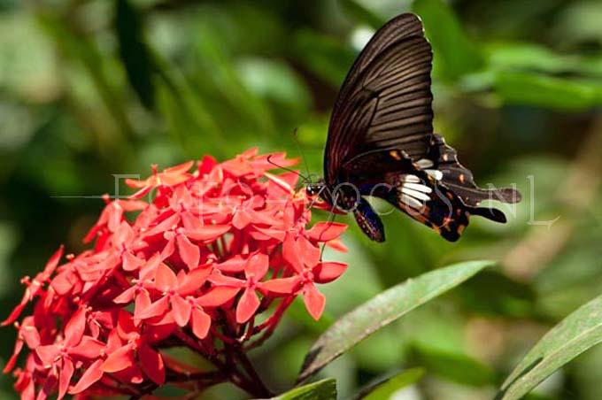 Papilio memnon2