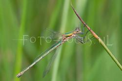 Lestes sponsa - Gew. pantserjuff.1- female
