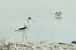 Recurvirostra avosetta - Kluut2