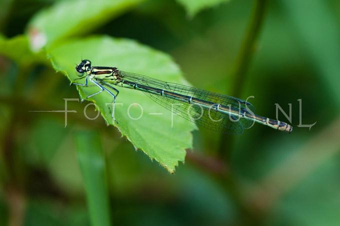 Coenagrion puella - Azuurwaterjuff.1 -female