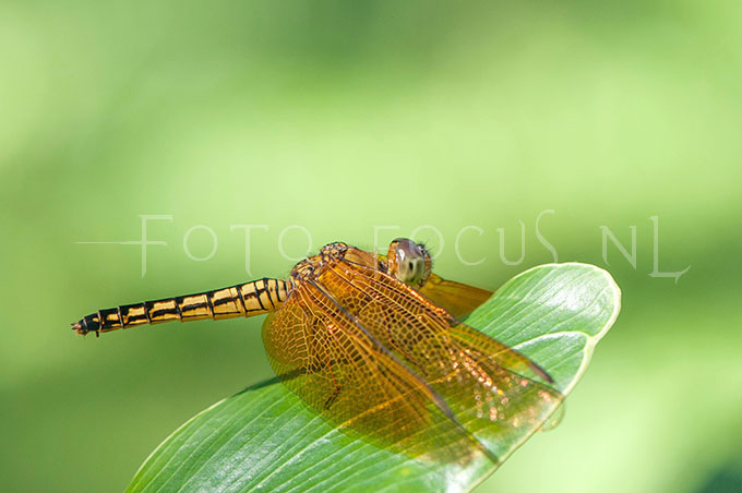 Neurothemis fluctuans1 - female