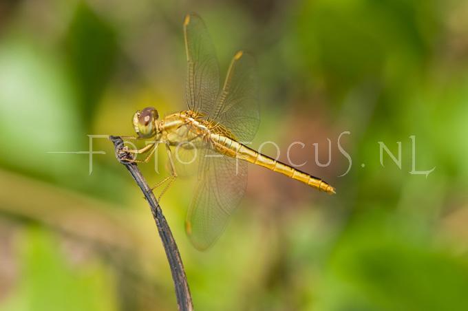 Crocothemis servilia - Oostelijke vuurlibel1- female