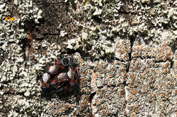 Oxycarenus lavaterae - Lindenspitskop