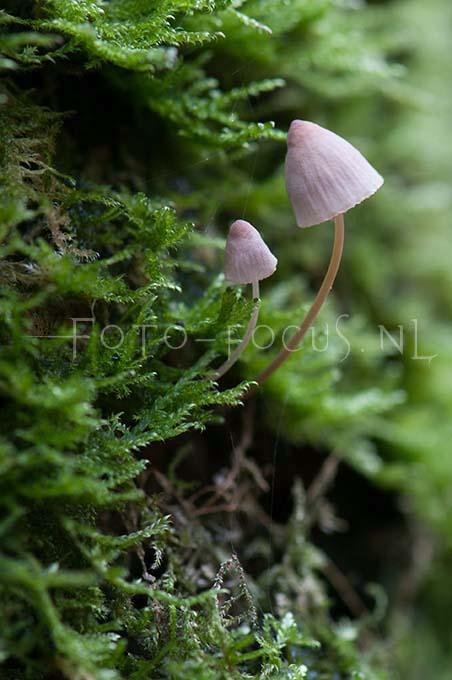 Mycena meliigena - Lilabruine schorsmycena
