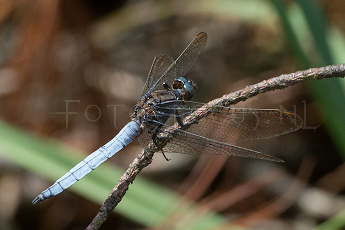 Orthetrum coerulescens - beekoeverlibel -male