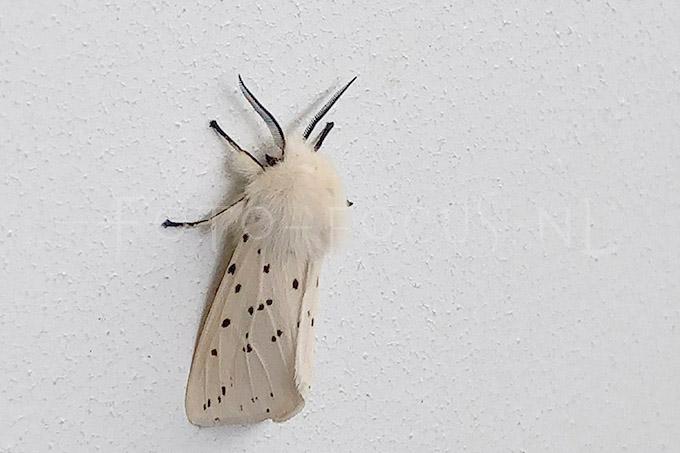 Spilosoma lubricipeda - Witte tijger