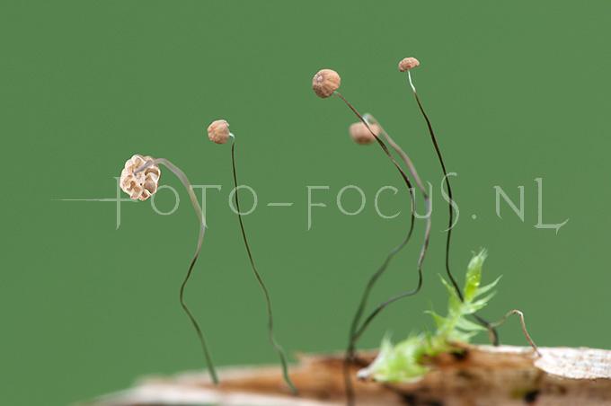 Marasmius limosus - Rietwieltje1