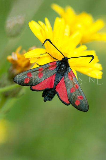 Zygaena filipendulae - st. Jansvlinder1