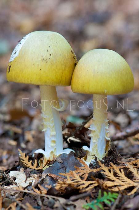Amanita phalloides - Groene knolamaniet2