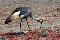 Balearica regulorum - Grijze kroonkraanvogel