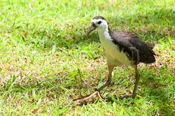 Amaurornis phoenicurus - Witborst waterhen